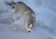 Siberian Husky Puppies For Sale